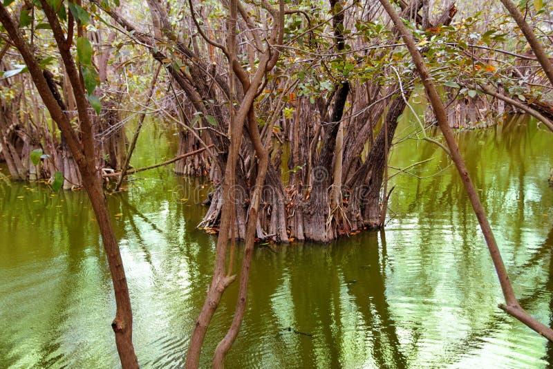 Cenote d'Aguada dans la jungle maya du Mexique la Riviera image libre de droits