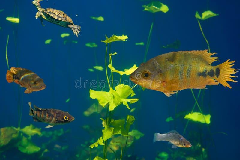 Cenote-Dreckloch Cichlidsfische Riviera-Maya lizenzfreie stockfotografie