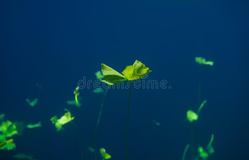 Cenote-Dreckloch waterplants auf Riviera-Maya stockbild