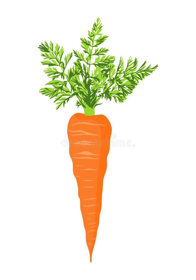 Cenoura fresca ilustração royalty free