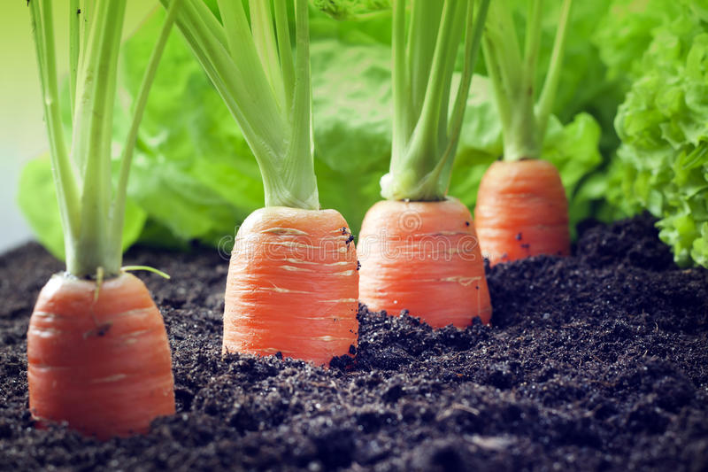 Cenoura que cresce no jardim imagens de stock royalty free