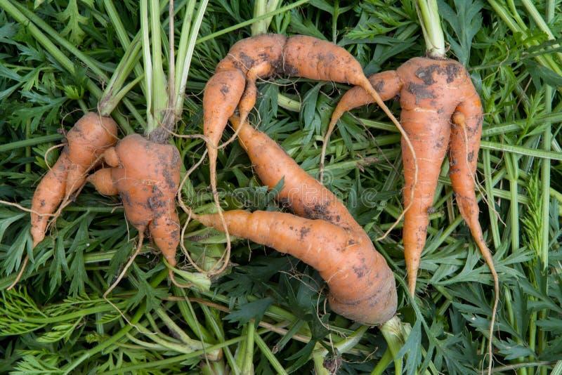 Cenouras frescas orgânicas feias - curvadas e torcidas fotos de stock royalty free