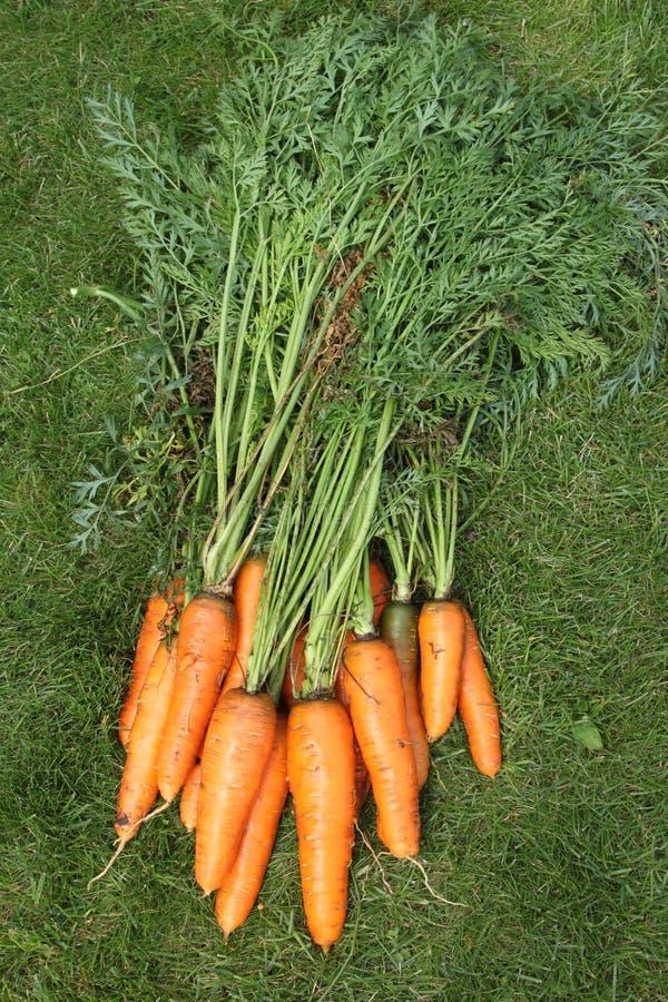 Cenouras lavadas com partes superiores de uma jardim-cama em uma grama verde imagem de stock royalty free