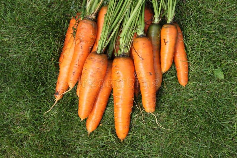 Cenouras lavadas de uma jardim-cama em uma grama verde imagem de stock