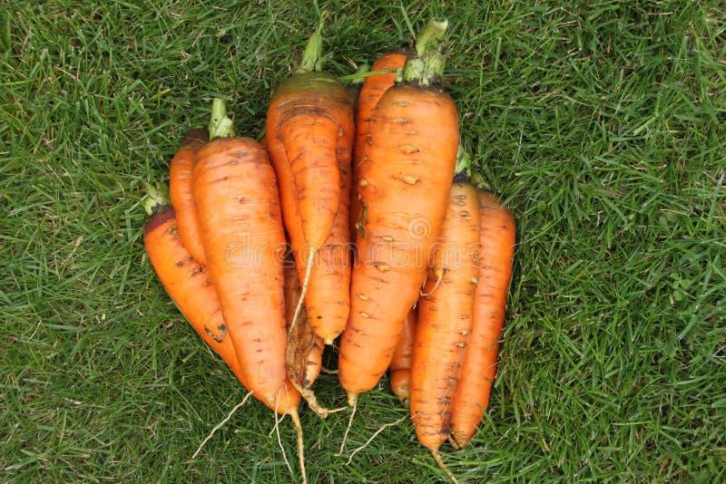 Cenouras lavadas sem partes superiores de uma jardim-cama em uma grama verde imagens de stock