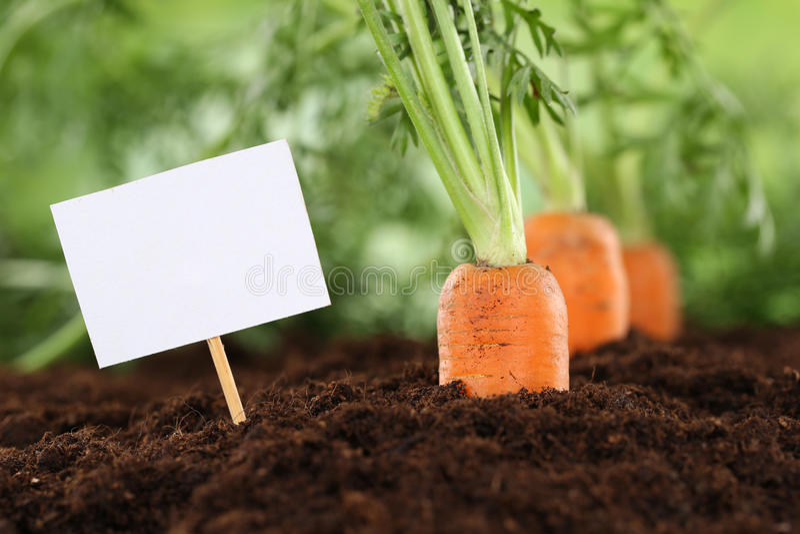 Cenouras maduras no jardim vegetal com sinal vazio fotografia de stock
