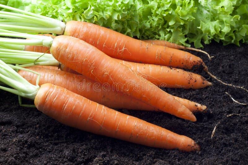 Cenouras orgânicas foto de stock royalty free