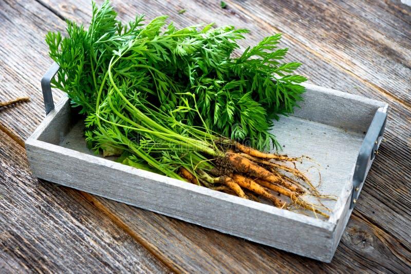 Cenouras orgânicas frescas do jardim imagem de stock
