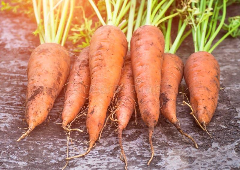 Cenouras orgânicas maduras frescas das raizes foto de stock royalty free