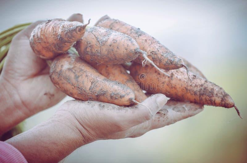 Cenouras orgânicas nas mãos imagem de stock royalty free