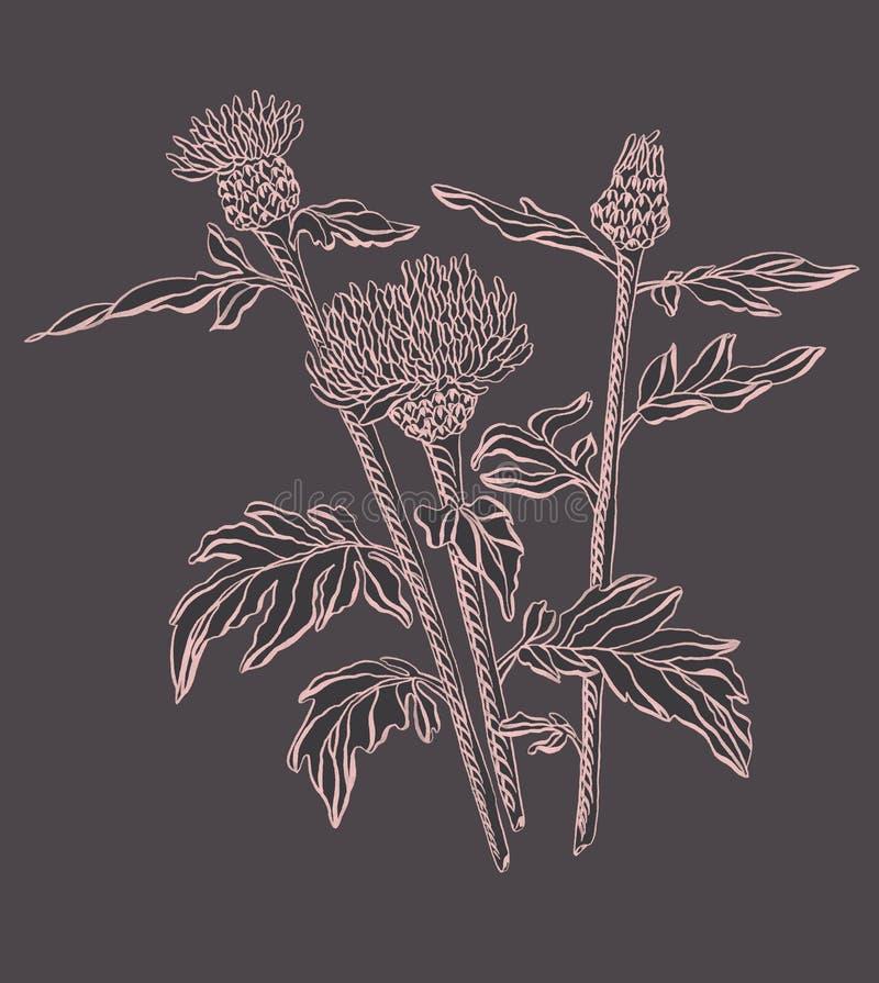 Centáurea do rosa selvagem de tinta de desenho no fundo preto ilustração do vetor
