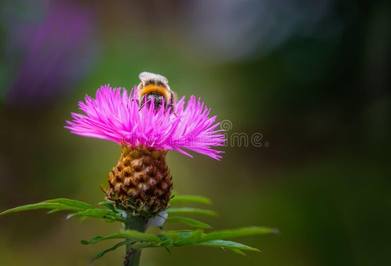 Centáurea persa cor-de-rosa bonita com para tropeçar a abelha que serching para o néctar na parte superior foto de stock royalty free
