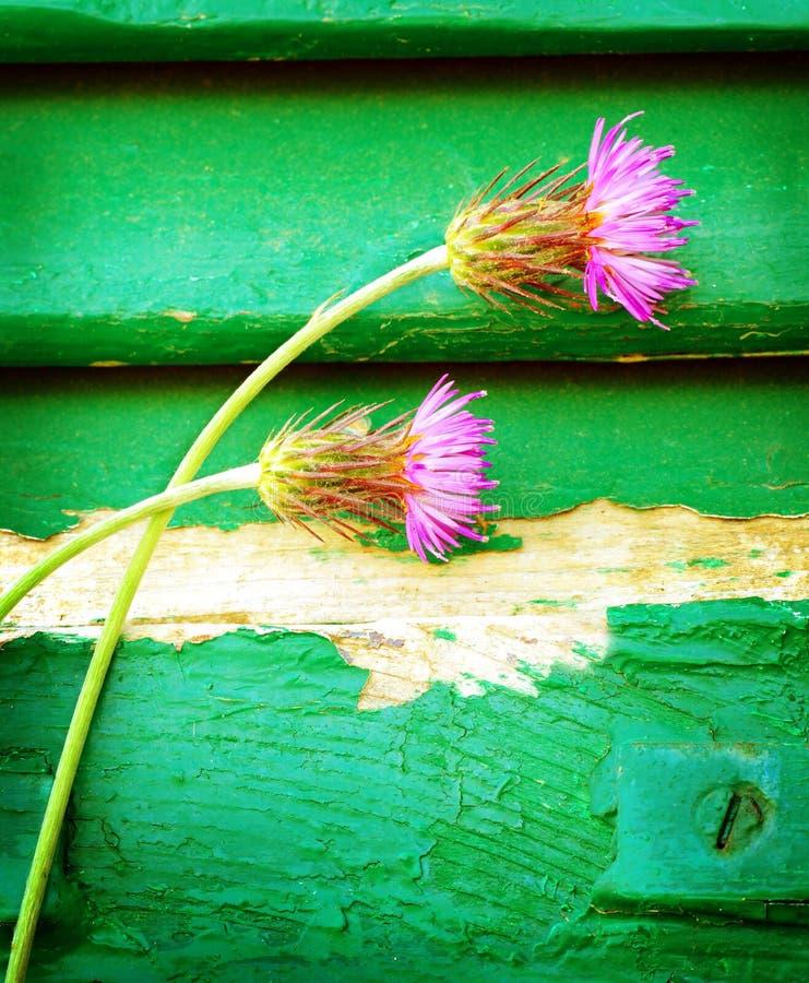 Centáureas cor-de-rosa no fundo de madeira foto de stock royalty free