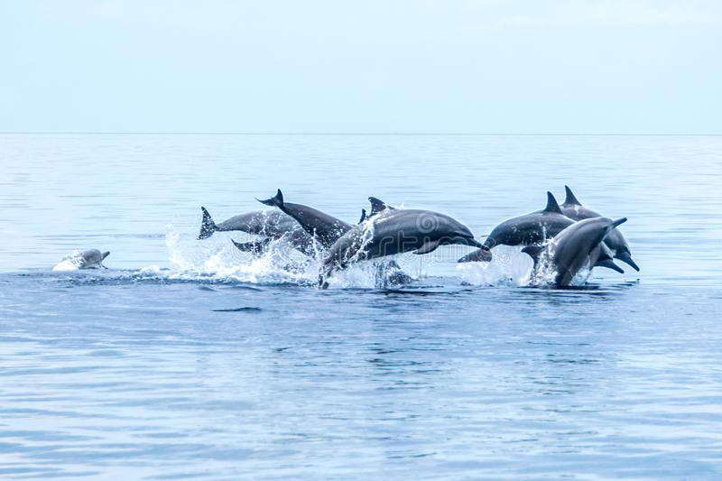 Cent dauphins Negros Oriental, Philippines photos stock