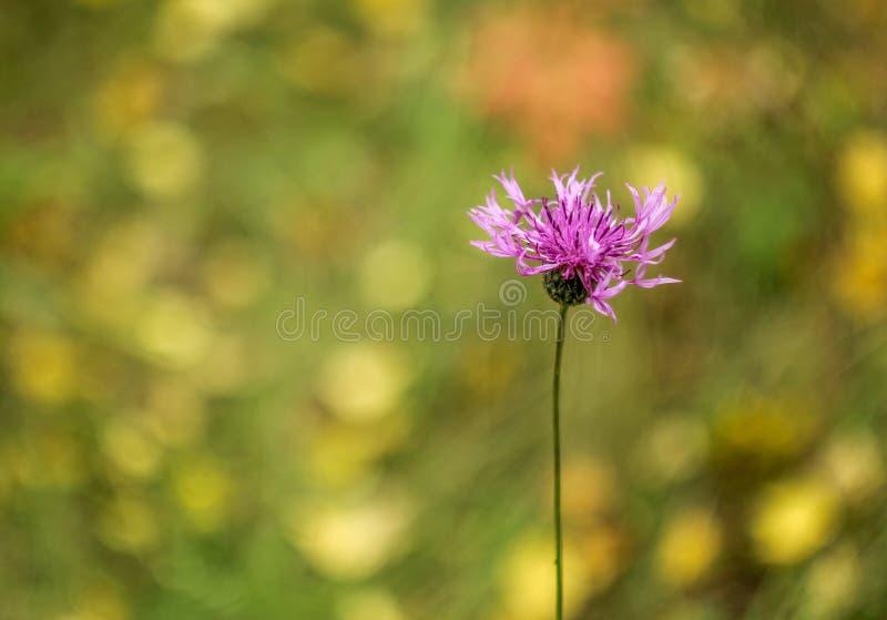 Centaurée de Brown sur un fond vert photographie stock libre de droits
