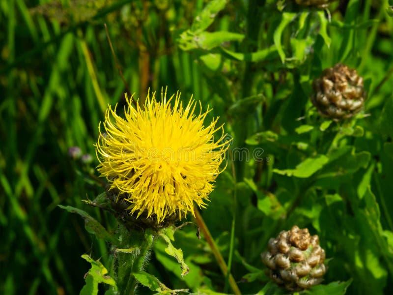 Centaurée de crâneur, duvet de citron ou plan rapproché de fleur de macrocephala de Centaurea, foyer sélectif, DOF peu profond image stock