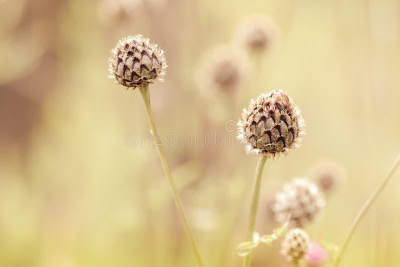 Centaurea - brácteas foto de archivo libre de regalías