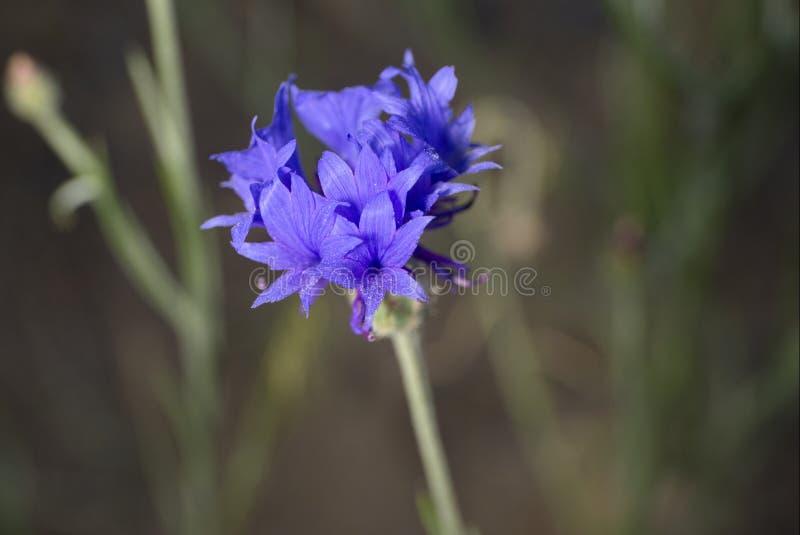 Centaurea cyanus lizenzfreies stockfoto