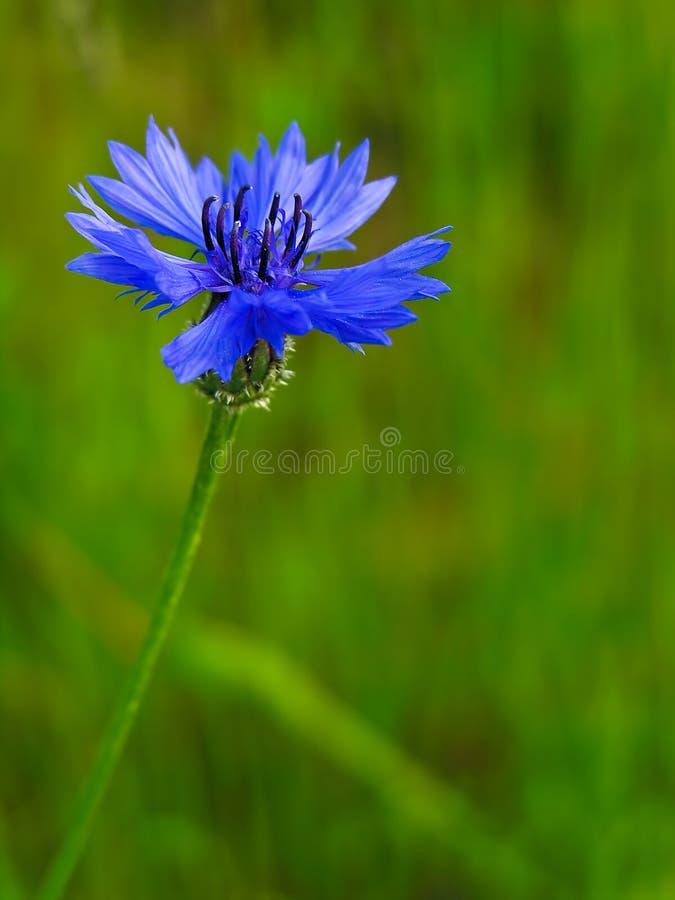 Centaurea cyanus, Asteraceae lizenzfreie stockfotos