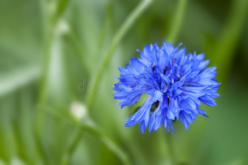 Centaurea cyanus, commonly known as cornflower or bachelor`s button royalty free stock photo