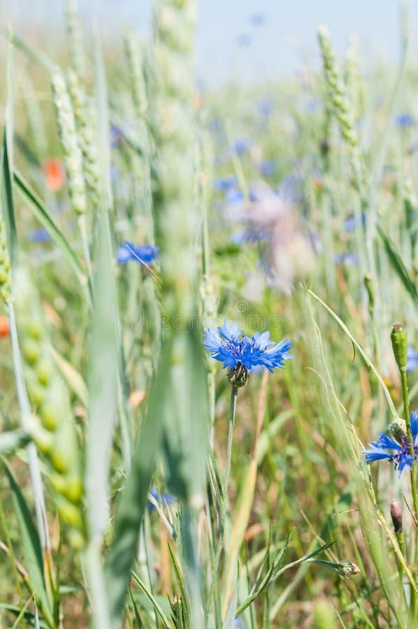 Centaurea cyanus - hierba en campos de maíz foto de archivo libre de regalías