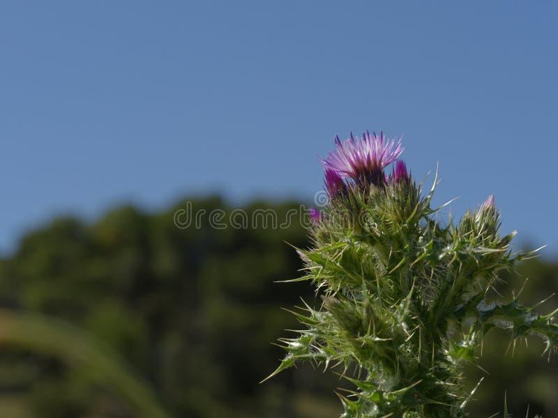 Centaurea de la primavera en el Aragonese Bardena fotografía de archivo