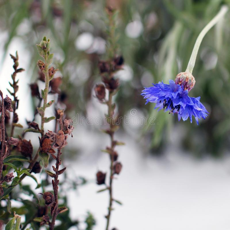 Centaurea Flores da centáurea no inverno fotografia de stock