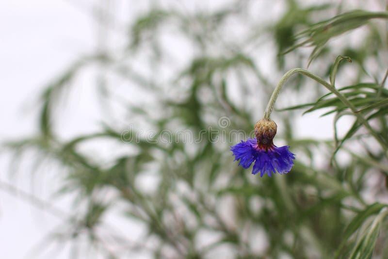 Centaurea Flores da centáurea no inverno imagens de stock