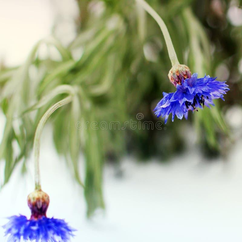 Centaurea Flores da centáurea no inverno fotos de stock royalty free