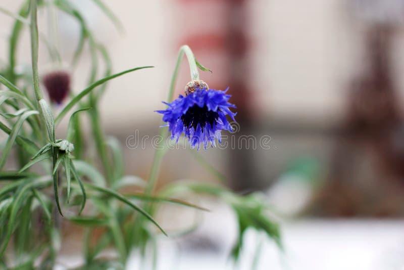 Centaurea Flores da centáurea no inverno fotografia de stock royalty free
