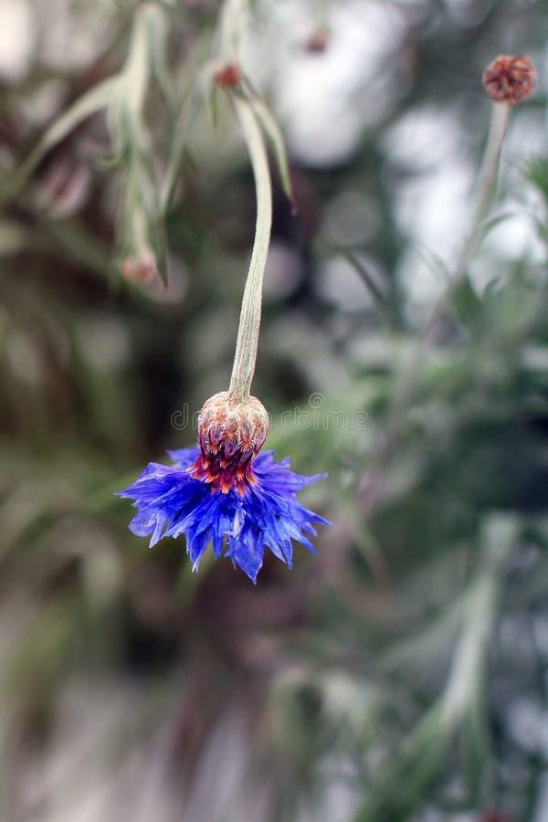 Centaurea Flores da centáurea no inverno imagens de stock royalty free