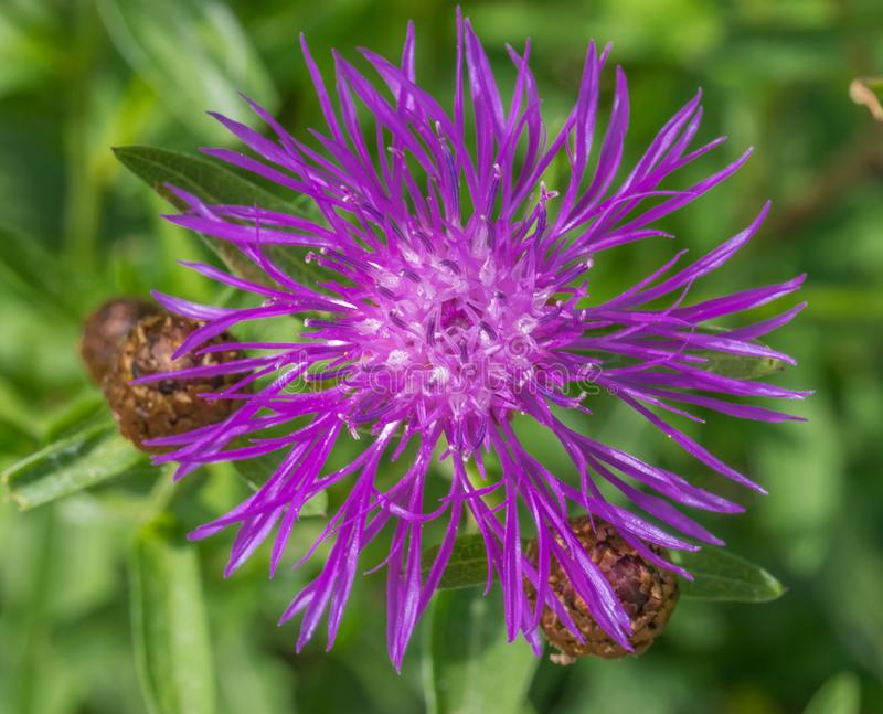 Centaurea jacea brown knapweed or brownray knapweed close-up. Flower blooming in spring. royalty free stock photography