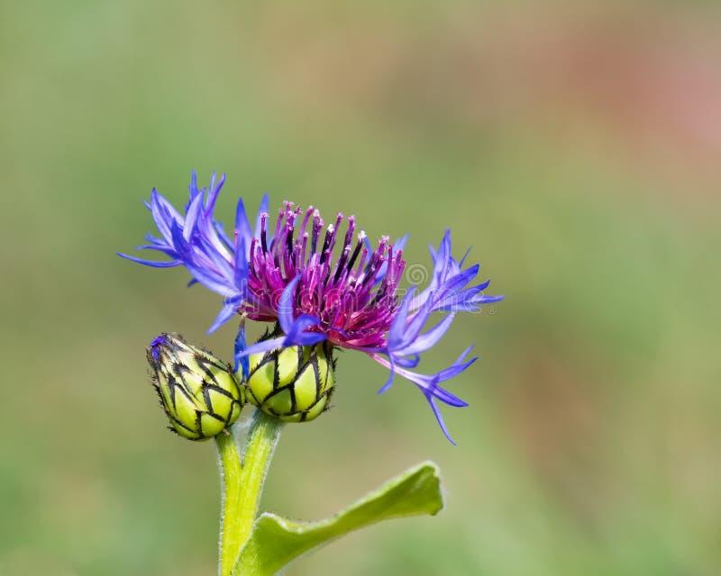 Centaurea montana fotos de stock royalty free