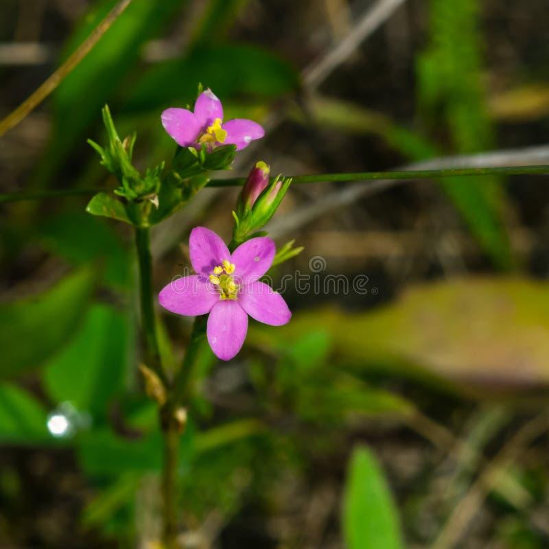 Centaury de beira-mar ou de littorale do Centaurium flores cor-de-rosa pequenas no close-up da grama, foco seletivo, DOF raso foto de stock