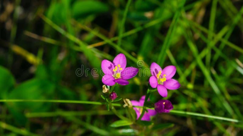 Centaury de beira-mar ou de littorale do Centaurium flores cor-de-rosa pequenas no close-up da grama, foco seletivo, DOF raso fotografia de stock