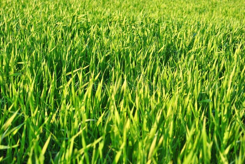 Centeio verde do trigo que cresce perto acima, textura orgânica do fundo fotos de stock royalty free