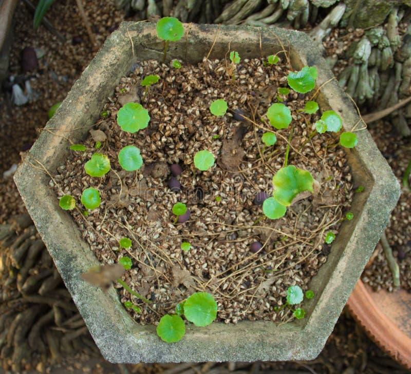 Centella asiatica生长盆具体六角 库存图片