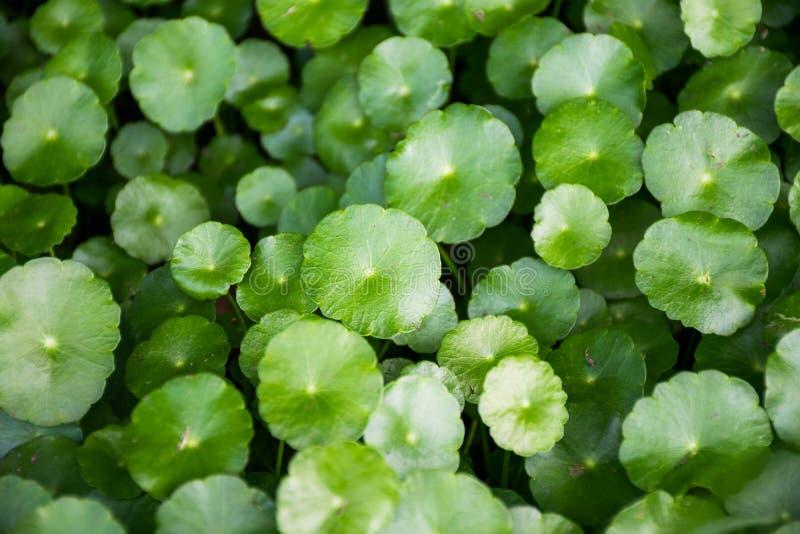 Centella asiatica стоковое изображение
