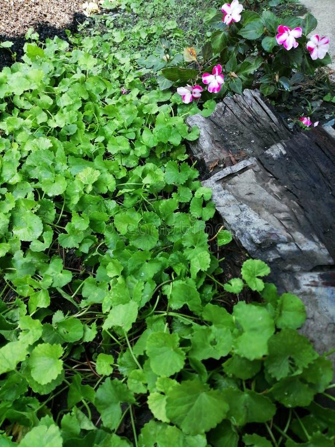 Centella asiatica medicinalväxter fotografering för bildbyråer