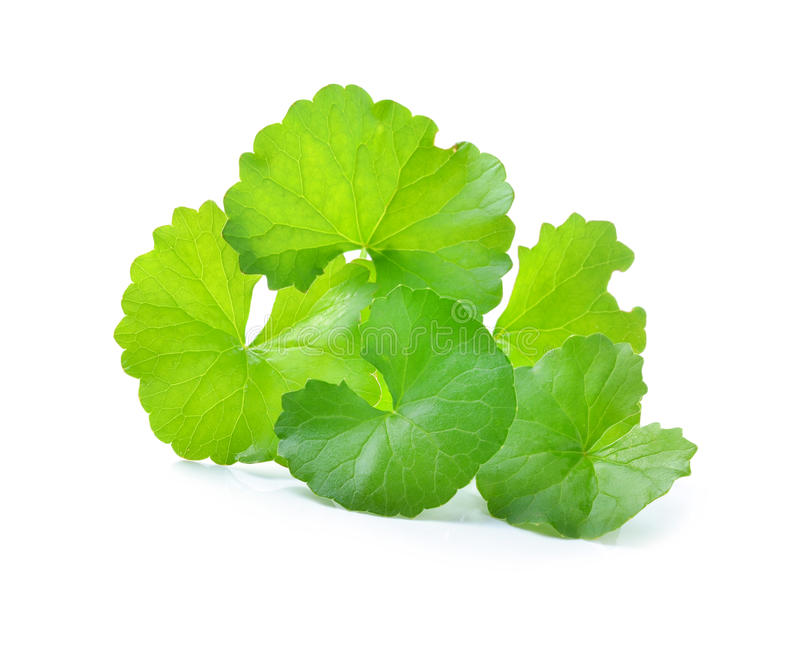 Centella asiatica, Pennywort asiático, (Centella asiatica (Linn ) imagem de stock royalty free