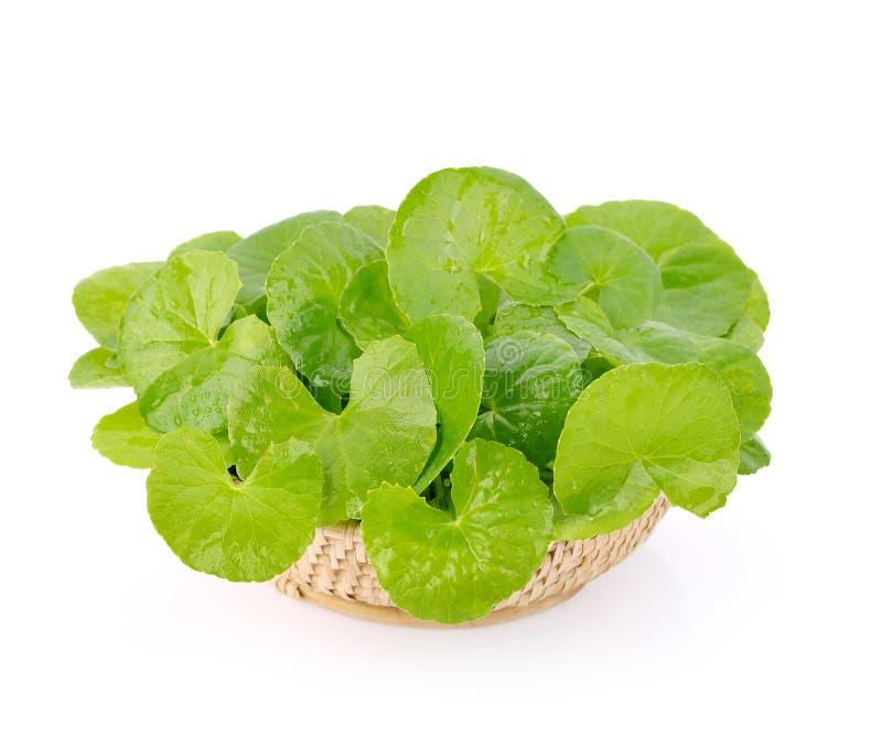 Centella asiatica, Pennywort asiático na cesta fotos de stock