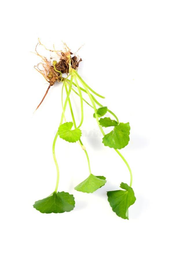 Centella asiatica, Pennywort asiatique photo libre de droits
