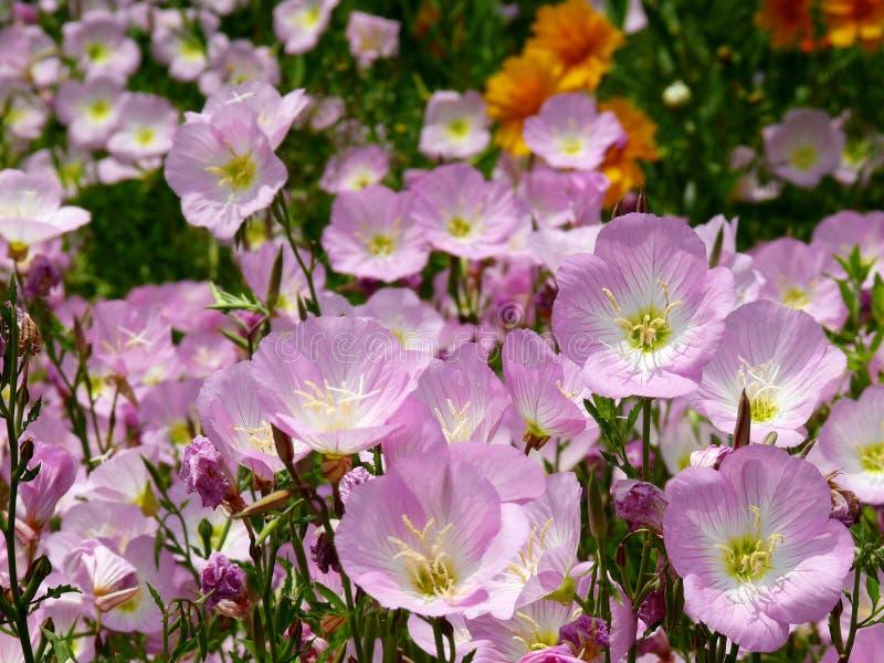 Centenares de flores en la floración foto de archivo