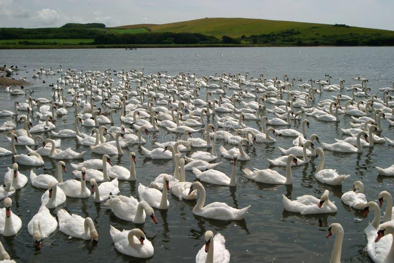 Centenas de cisnes imagens de stock royalty free
