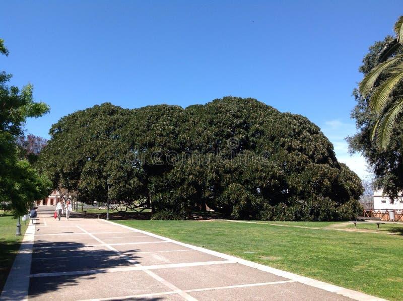 Centennial dell'albero immagine stock libera da diritti