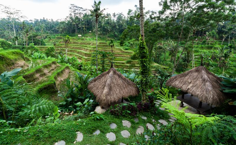 Rice terraces in Bali. In the center of Bali this rice terraces are the most famous stock photography