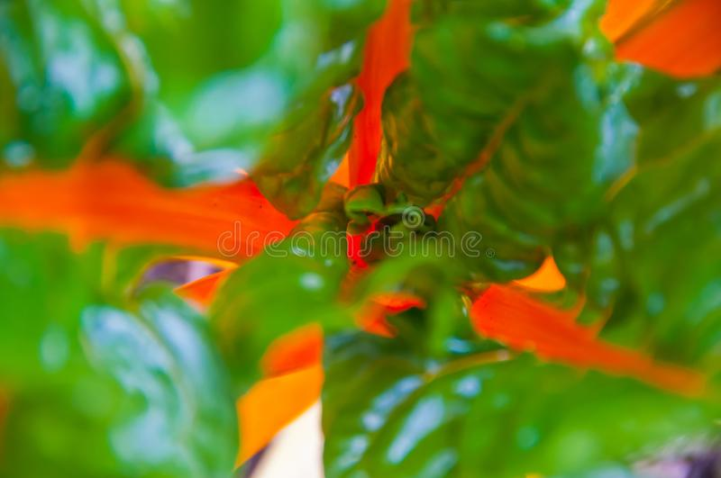 Center of Bok Choi Chinese fresh vegetable in farm royalty free stock photography