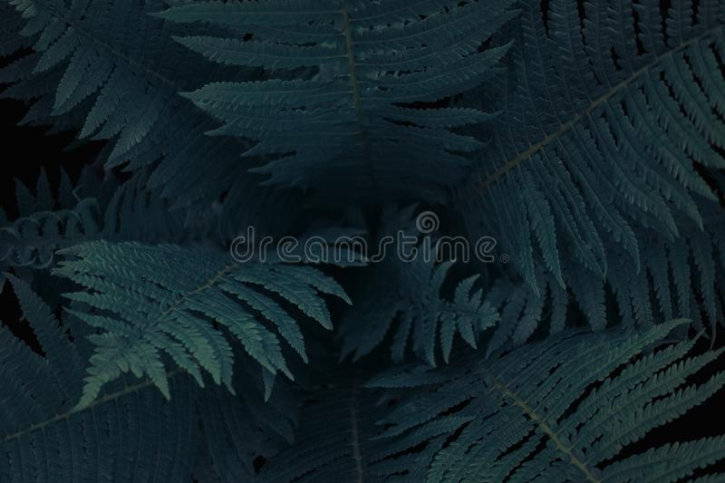 Center of dark green fern tree in native bush, natural background texture royalty free stock image