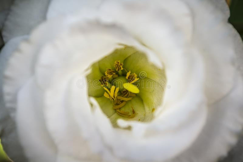 The center of white flower. Center from a flower and your beautiful white color in petal stock photos