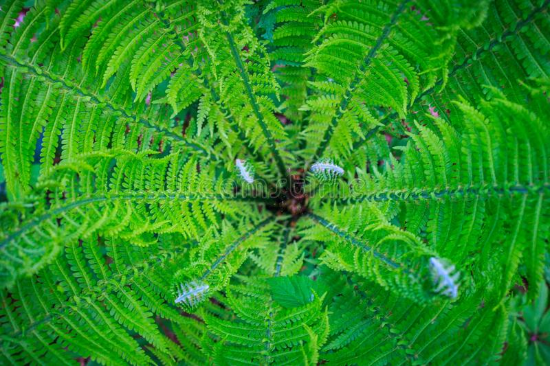 Center or heart of fresh fern bush with young curly fronds. Nature background. Summer green forest. Plants pattern stock images